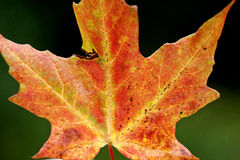Autumn Leaves Sugar Maple Stock Photo