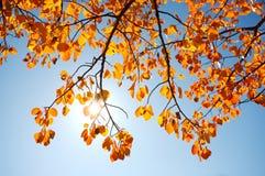Autumn leaves with sun. Sun shining through autumn poplar leaves Stock Photo