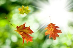 Autumn leaves on a sun background Royalty Free Stock Image