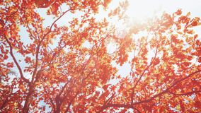 Autumn leaves on the sun and blurred trees . Fall background.  royalty free stock images
