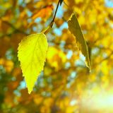 Autumn leaves in the sun, concept of changing seasons, blurred background. Autumn leaves in the sun stock photos