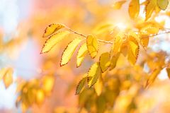 Autumn leaves on the sun. Fall blurred bokeh background. Sunny day. Beautiful art image. Soft selective focus.  royalty free stock photos