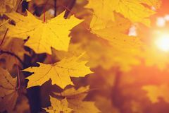 Autumn leaves in sun light. Fall blurred background, selective focus, yellow season concept. Toned royalty free stock photos
