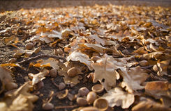 Autumn leaves in the sunlight Royalty Free Stock Images