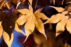 Autumn leaves in sunlight Royalty Free Stock Photos