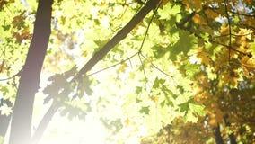 Autumn leaves sunlight stock video footage