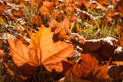 Autumn leaves sunlight Royalty Free Stock Image