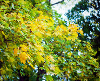 Autumn leaves with sunlight Royalty Free Stock Images