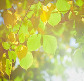 Autumn leaves with sunlight Royalty Free Stock Photos
