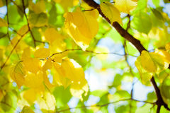 Autumn leaves with sunlight Royalty Free Stock Image