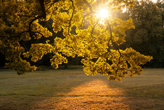 Autumn leaves. Sunny yellow autumn leaves backlit Stock Image