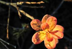 Autumn leaves in sunset light Royalty Free Stock Photo