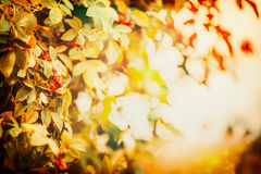 Autumn leaves in sunset light, fall nature background Royalty Free Stock Photo