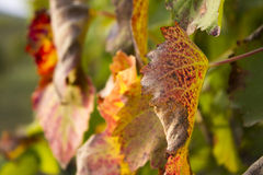 Autumn Leaves on Sunset Royalty Free Stock Images