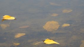 Autumn leaves on the surface of a lake or river stock footage
