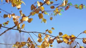 Autumn leaves swaying in the wind stock video footage