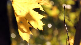 Autumn leaves swaying in the wind. Yellow leaves in drops of water close-up. stock video