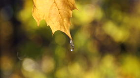 Autumn leaves swaying in the wind. Yellow leaves in drops of water close-up. The leaves fall in the park.  Autumn leaves swaying in the wind. Yellow leaves in stock video