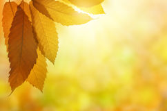 Autumn leaves of sweet chestnut tree Royalty Free Stock Photography