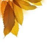 Autumn leaves of sweet chestnut tree Stock Photos
