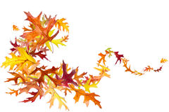 Autumn Leaves Swirl. Swirl of falling and spinning autumn oak leaves isolated on white Royalty Free Stock Images