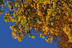 Autumn leaves on Sycamore Tree Royalty Free Stock Photography