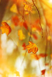 Autumn leaves and tender branches Stock Photography