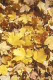 Autumn Leaves, Tennessee royalty free stock image