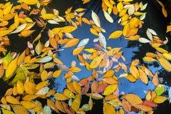Autumn Leaves tombé dans l'étang de jardin Image stock