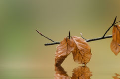 Autumn Leaves Touching Water Stock Image
