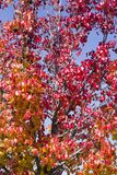Autumn Leaves on Tree Stock Image