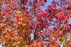 Autumn Leaves on Tree Stock Photos