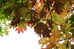 Autumn leaves on the tree Royalty Free Stock Images