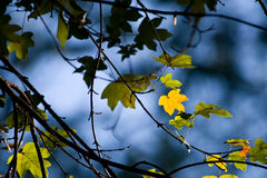 Autumn leaves on a tree Royalty Free Stock Image