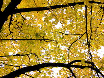 Autumn leaves in tree Stock Photo