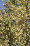 Autumn leaves on a tree against bright blue sky Stock Photography