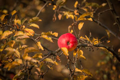 Autumn leaves on a tree with an apple. Autumn leaves on a tree with an red apple Stock Photo