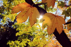 Autumn, leaves on a tree big, the sun. Mellow autumn, autumn leaves, autumn, wildlife, foliage, the sun, patches of light, maple leaves yellow, yellow autumn Royalty Free Stock Photos