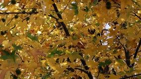 Autumn Leaves On Tree Blowing en brisa almacen de video
