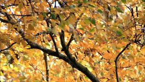 Autumn leaves on tree blowing in the wind stock footage