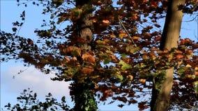 Autumn leaves on tree stock video footage