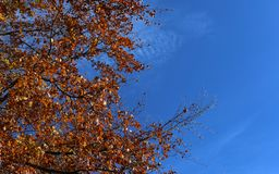 Autumn leaves on tree with blue sky royalty free stock photos