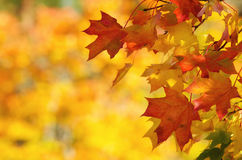 Autumn leaves on tree branch Royalty Free Stock Image
