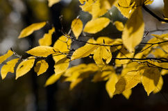 Autumn leaves on a tree branch Stock Photography