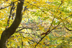 Autumn leaves on tree branches Stock Photos