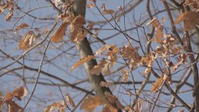 Autumn leaves on a tree stock video