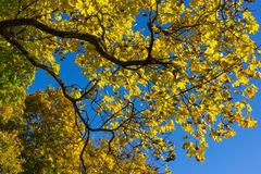 Autumn leaves. Tree brunch with yellow leaves Stock Photo