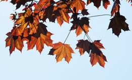 Autumn Leaves on Tree Royalty Free Stock Image