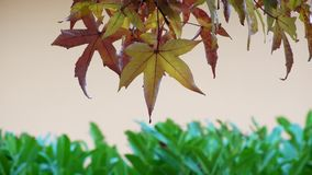 Autumn leaves on the tree stock video