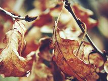 The autumn. The leaves on the tree. Autumn. Dry maple leaves on a tree Stock Photo
